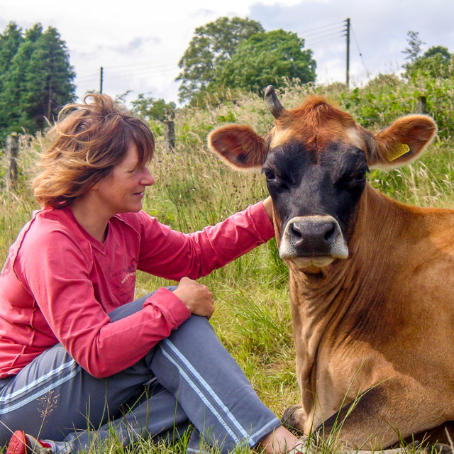 """""""Cow tickle"""" stock image"""