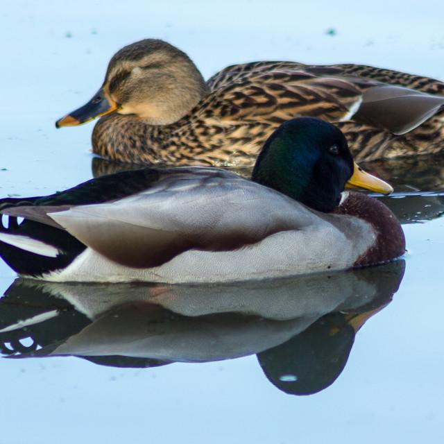 """Duck Mirage"" stock image"