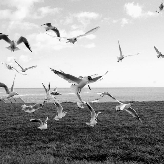 """Gulls swooping"" stock image"