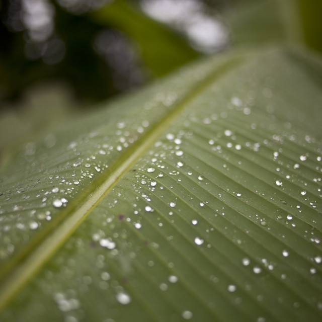"""Rain on a palm leaf"" stock image"