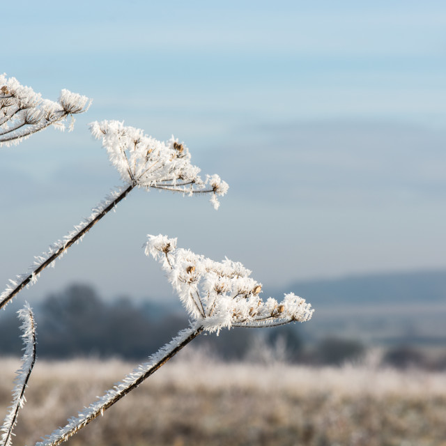 """Frozen seed head"" stock image"