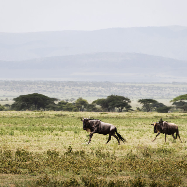 """Two Wilderbeast charging in the plains of the Serengeti, Tanzani"" stock image"