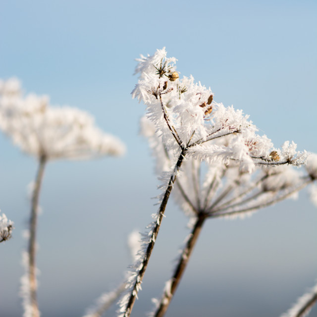 """Frosted cow parsley"" stock image"