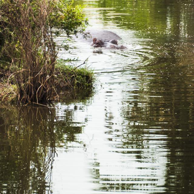 """""""Hippopotamus (Hippopotamus amphibius) in its favourite habitat"""" stock image"""