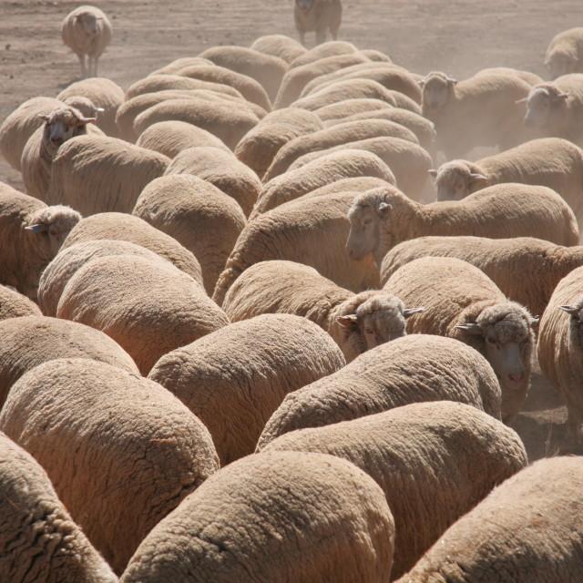 """Sheep feeding"" stock image"
