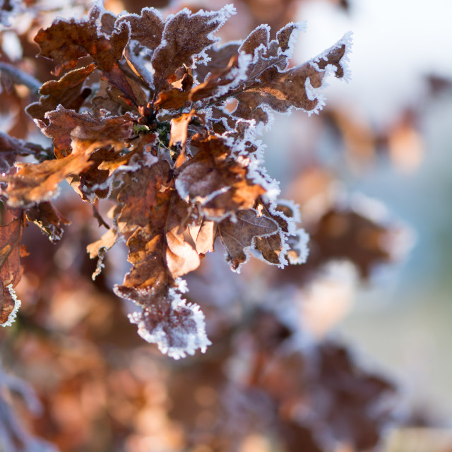 """Frosted oak leaves"" stock image"