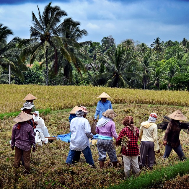 """Ubud rice harvesters"" stock image"