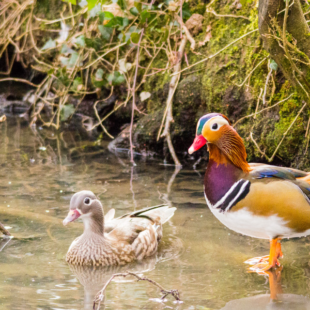 """Mandarin Duck 1"" stock image"