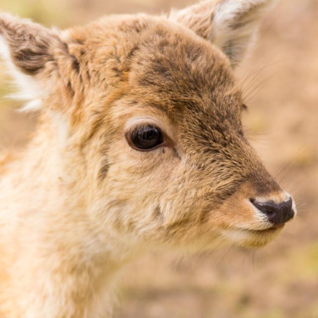 """Fallow Deer 5"" stock image"