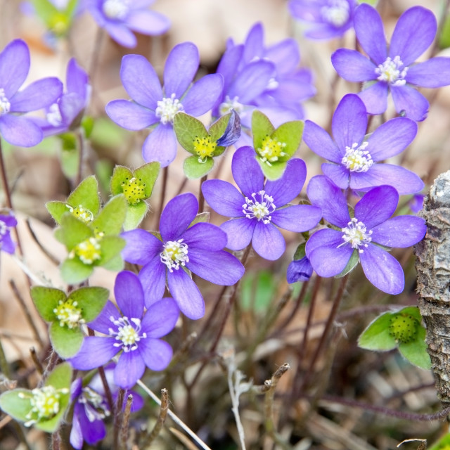 """Blue wildflower Hepatica Nobilis"" stock image"