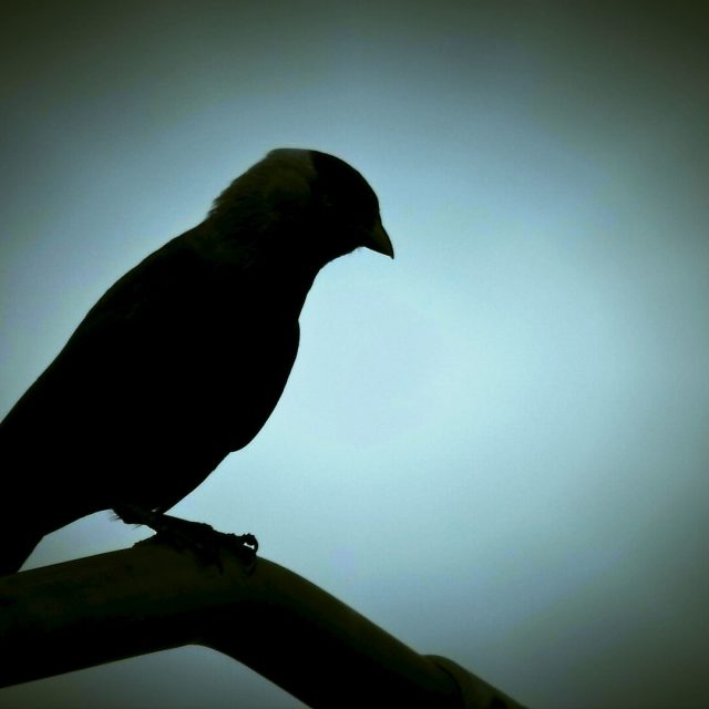 """Crow in Silhouette"" stock image"