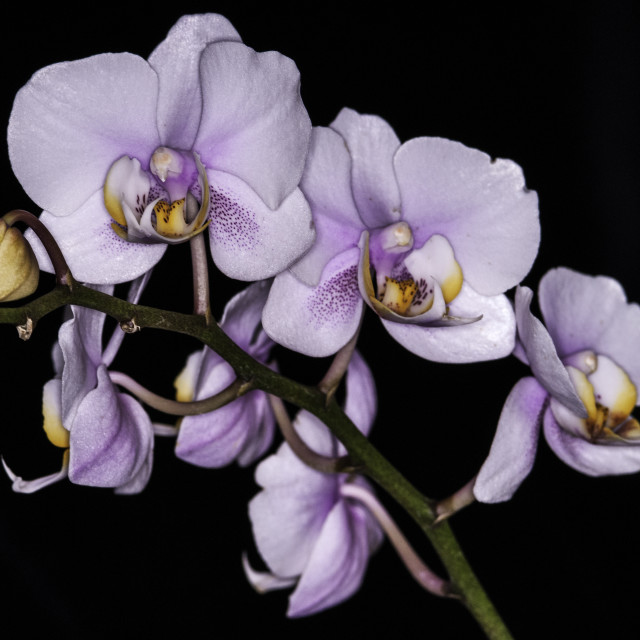 """Orchid Phalaenopsis"" stock image"