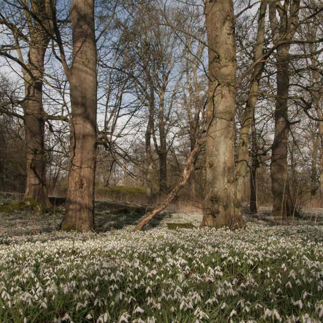 """Snowdrop Wood"" stock image"