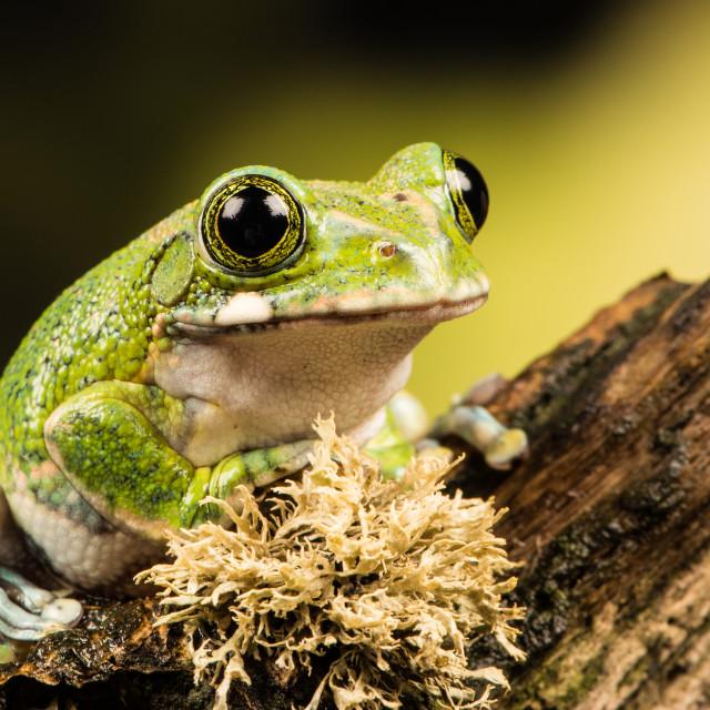 """""""Amazon Tree Frog"""" stock image"""
