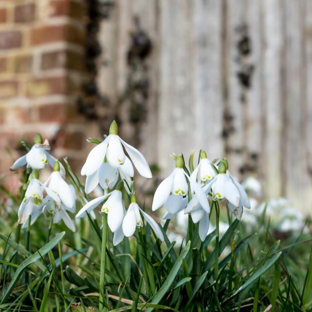 """""""Snowdrop in the garden doorway"""" stock image"""