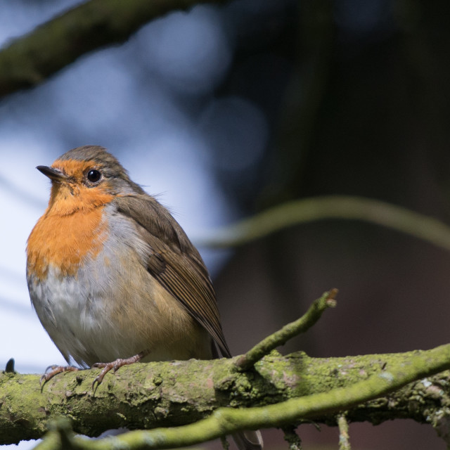 """Robin on a Branch"" stock image"