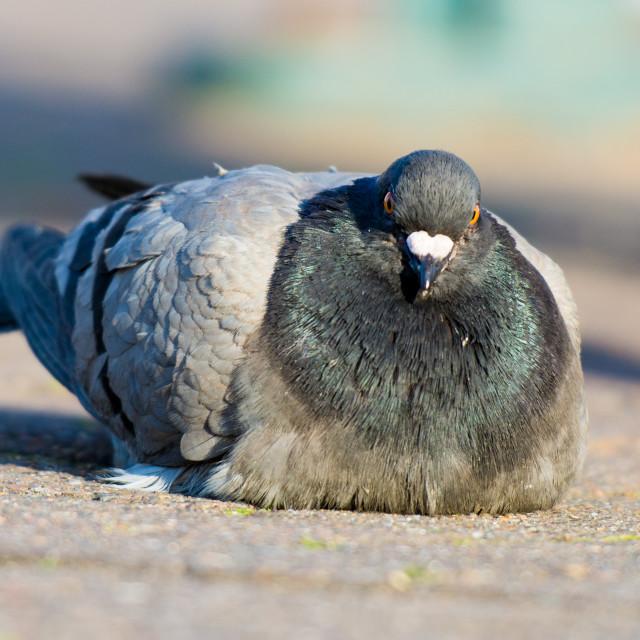 """Angry Pidgeon"" stock image"