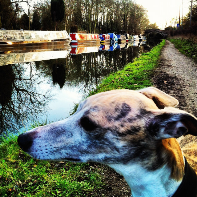 """Whippet and Canal"" stock image"