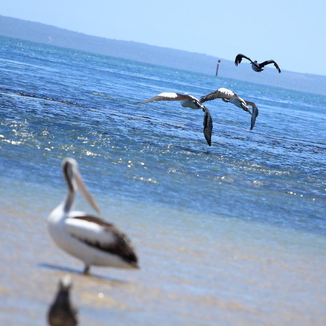 """Line of Australian pelicans flying"" stock image"