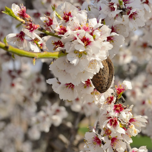 """""""Almond blossoms"""" stock image"""