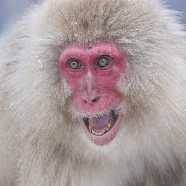 """Snow Monkeys in Nagano"" stock image"