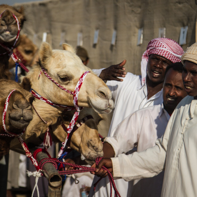 """Camel Races 1"" stock image"