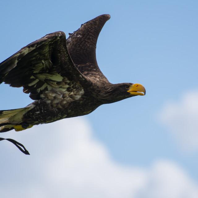 """Bald headed Eagle"" stock image"