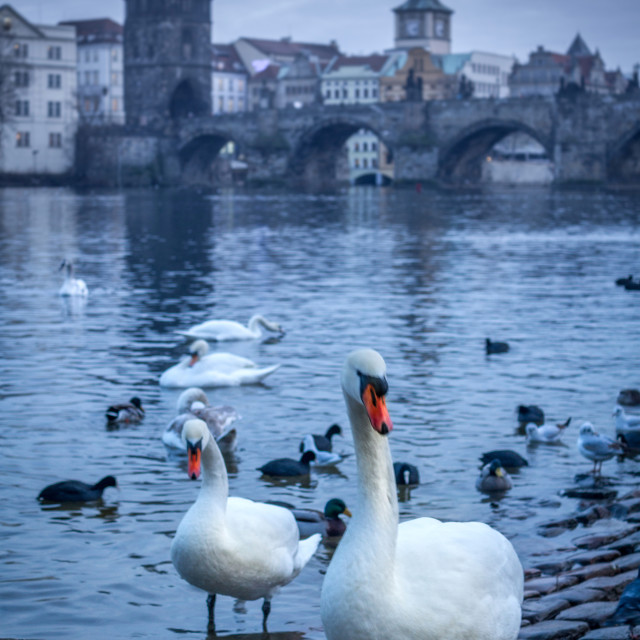 """Swans by Charles Bridge, Prague"" stock image"