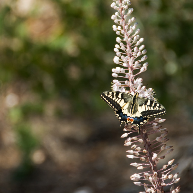 """Common Yellow Swallowtail butterfly"" stock image"