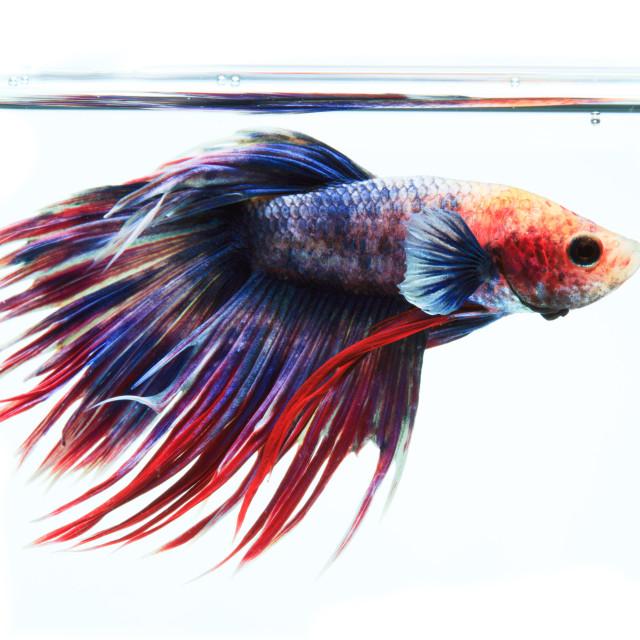 """Siamese fighting fish isolated on white background"" stock image"