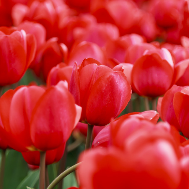 """""""Array of red tulips"""" stock image"""