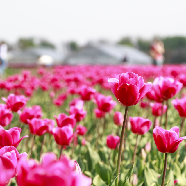 """Tourists and tulips"" stock image"