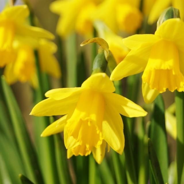 """Miniature Daffodils."" stock image"