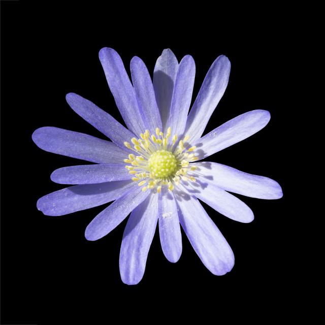 """Purple rocky daisy flower"" stock image"