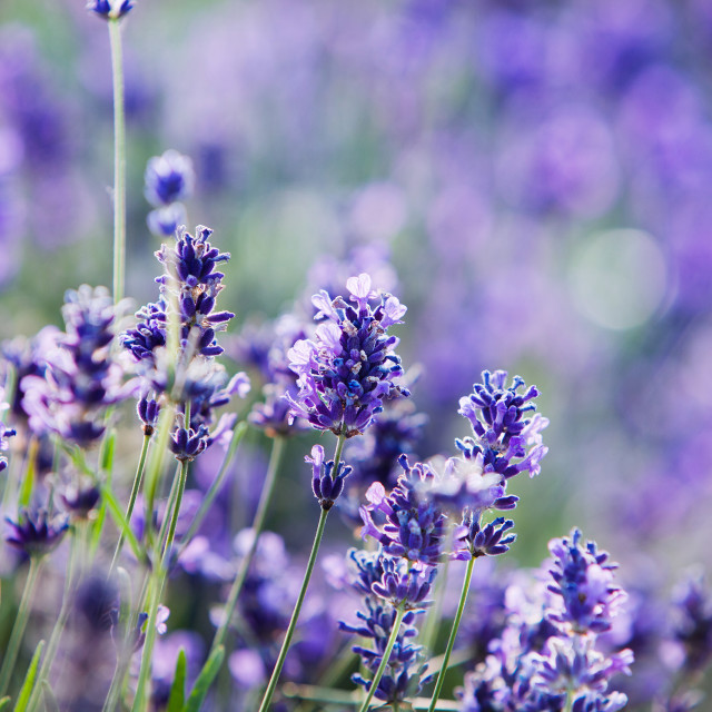 """Lavender in Bloom"" stock image"