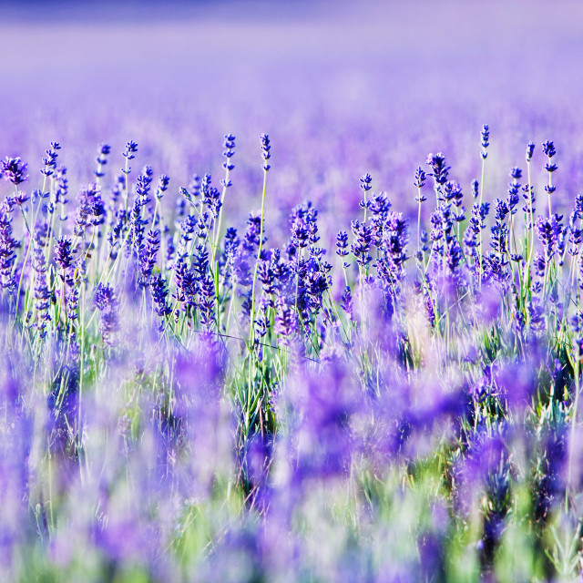 """""""Field of Lavender"""" stock image"""