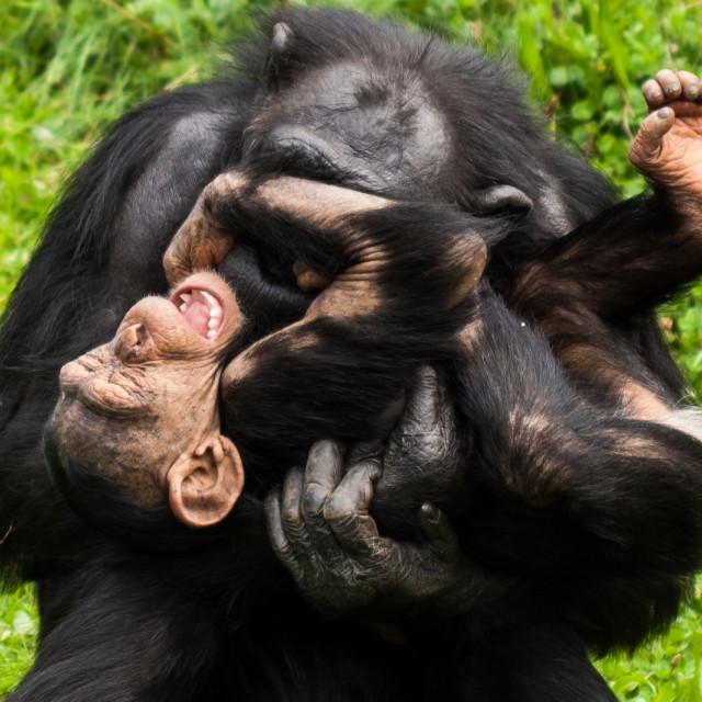 """Ticklish Chimpanzee"" stock image"