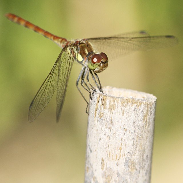 """Dragon Fly"" stock image"