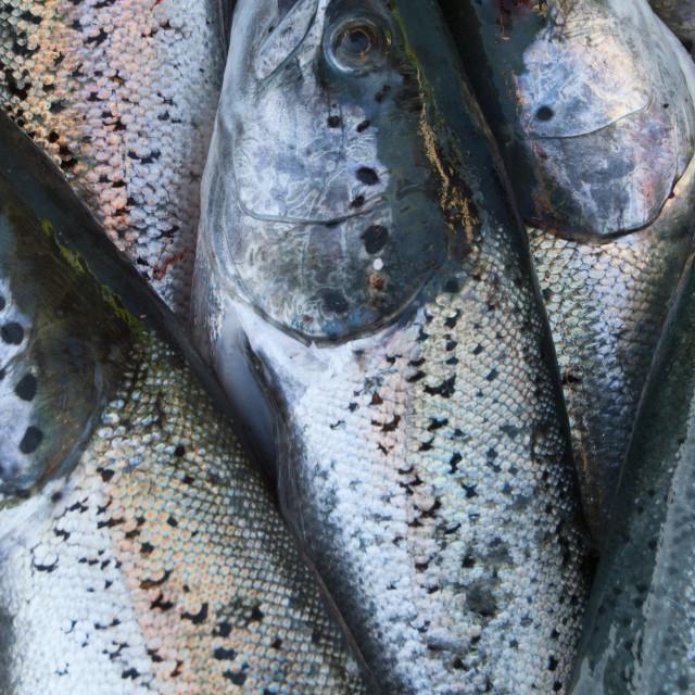 """""""Fresh wild salmon"""" stock image"""