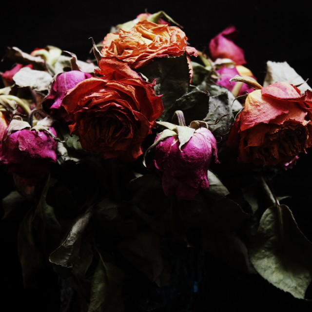 """Dead Roses"" stock image"
