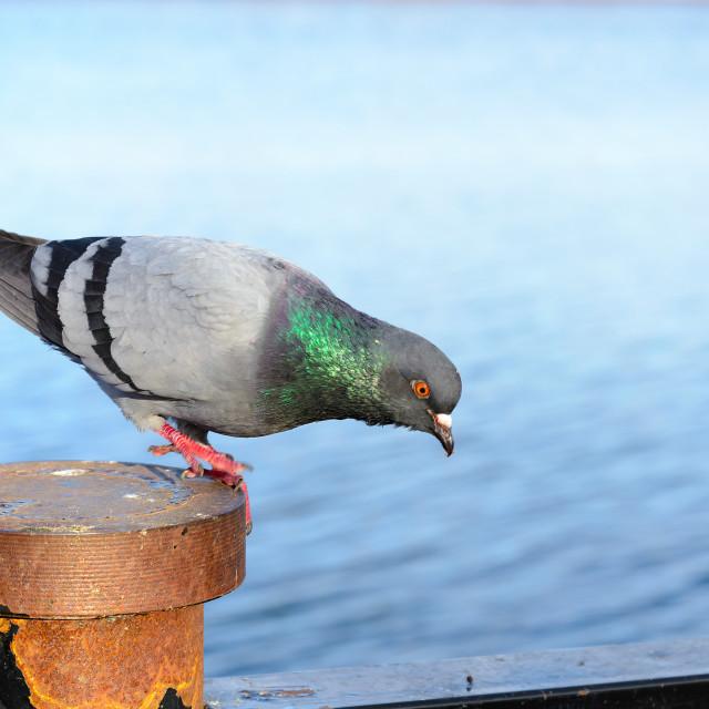 """Funny Gray Pigeon"" stock image"