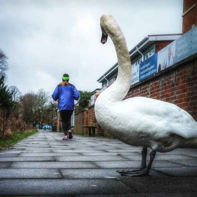 """Curious Swan"" stock image"
