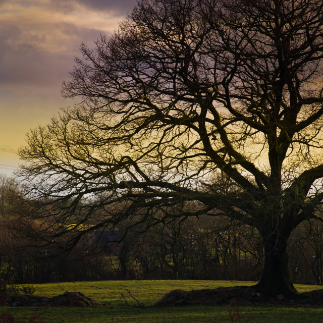 """""""Plain and Simple Old Oak Tree"""" stock image"""