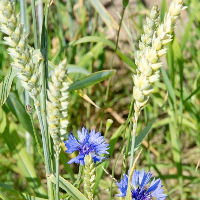 """""""Two blue cornflowers in corn field"""" stock image"""