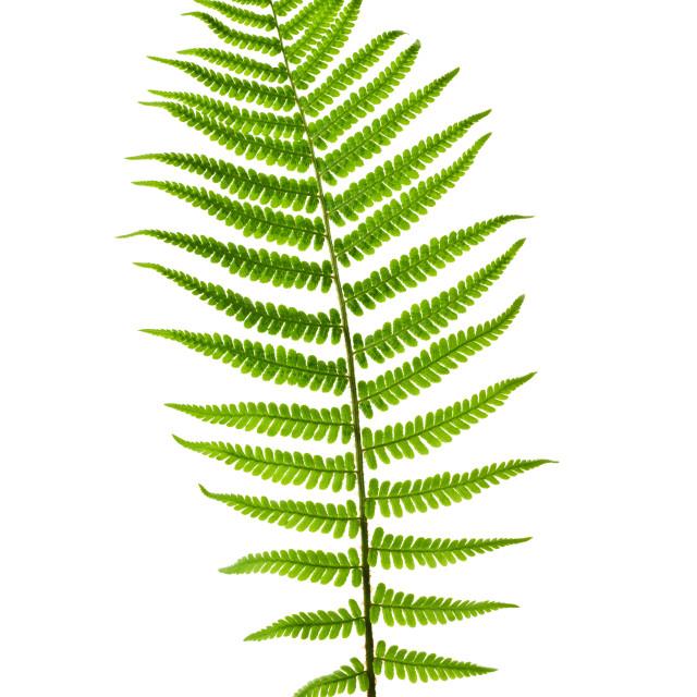"""Fern leaf"" stock image"