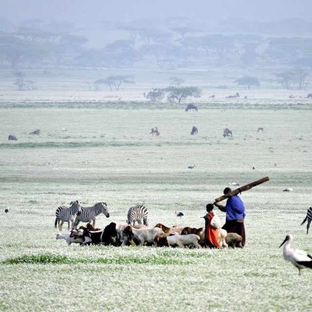 """Maasai walking through plains covered in white flowers"" stock image"