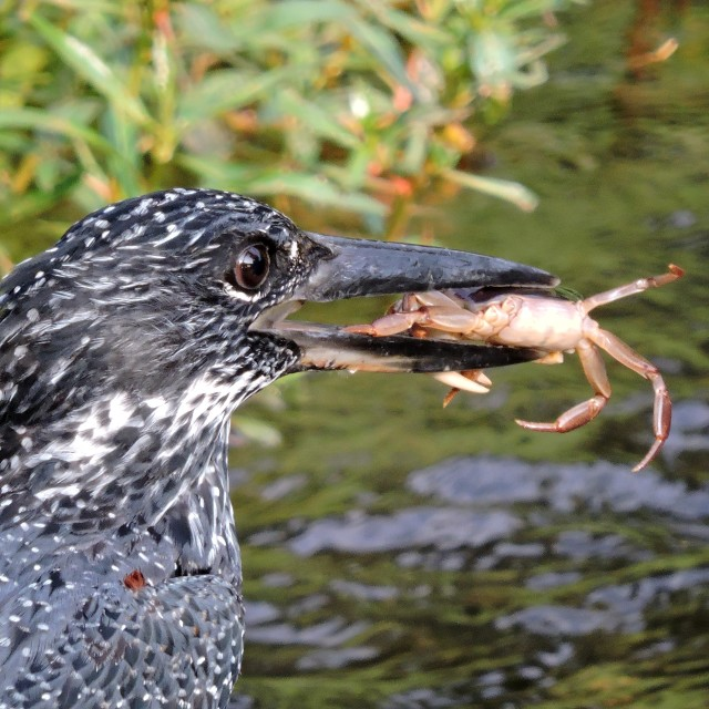 """""""Giant Kingfisher with crab"""" stock image"""