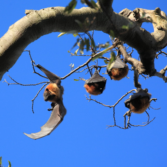 """Fruit bats in Sydney Royal Botanic Gardens"" stock image"
