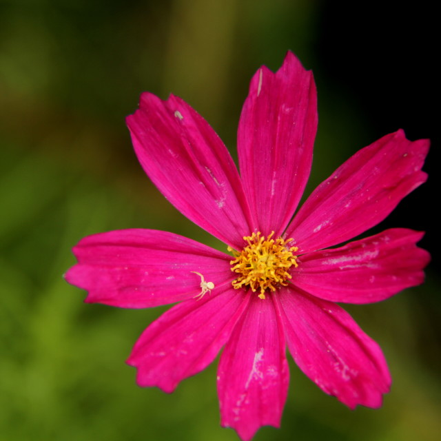 """A pink flower"" stock image"