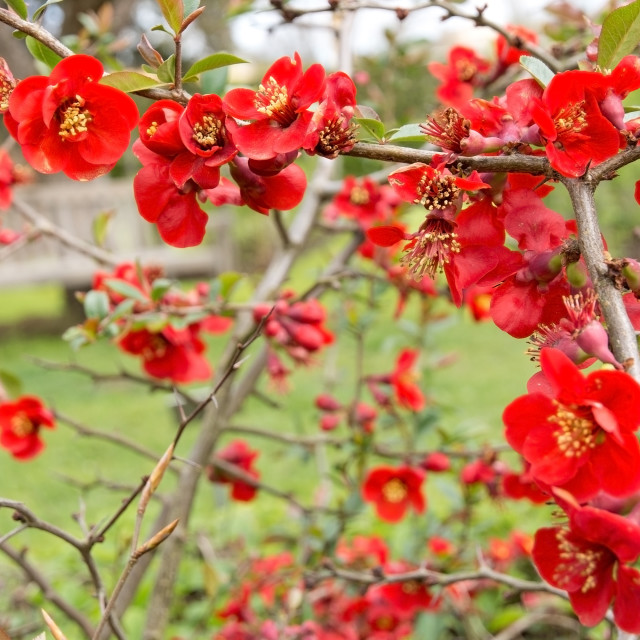"""Dwarf quince bush with red spring flowers"" stock image"
